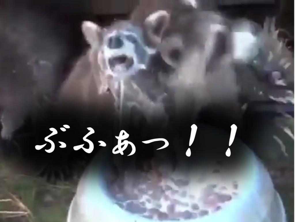 ミルクの飲み方が豪快過ぎるアライグマ
