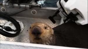 シャチに襲われて船に逃げ込むラッコ