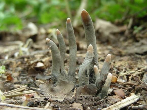 本文アイキャッチ_【閲覧注意】この世で最もおどろおどろしいきのこ、どう見てもゾンビの指にしか見えない