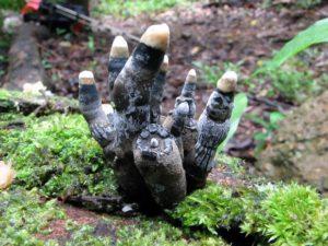 3_【閲覧注意】この世で最もおどろおどろしいきのこ、どう見てもゾンビの指にしか見えない