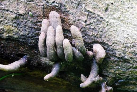 1_【閲覧注意】この世で最もおどろおどろしいきのこ、どう見てもゾンビの指にしか見えない