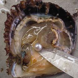 真珠サンプル_【画像あり】フィリピンで世界最大の天然真珠が発見され100億円を超える価値とされる