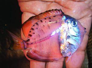 本画像_世界滅亡の前兆か!?メキシコで全身が透明な魚が発見される